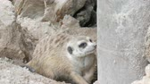 namib desert : Funny meerkat or suricate near burrows in the zoo