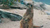 guard : Funny meerkat or suricate near burrows in the zoo