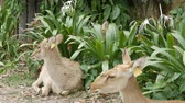 fawn : Beautiful deer sit in green bushes. Hand deer in zoo khao kheo, Pattaya, Thailand