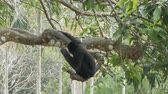 captive : Black Gibbon ride on the tree branches Stock Footage