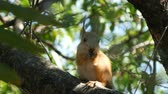 esquilo : Cub of a small red squirrel hides in branches and eats a nut