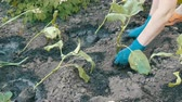 patlıcan : Female hands in blue gloves planting a seedlings of eggplant with root Stok Video