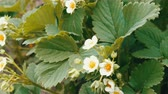 guloseima : First small white strawberry flowers in the garden. Bush blooming strawberry close up view Stock Footage
