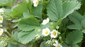 hora de comer : First small white strawberry flowers in the garden. Bush blooming strawberry close up view Archivo de Video