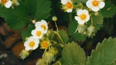 guloseima : First small white strawberry flowers in the garden. Bush blooming strawberry close up view Vídeos