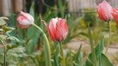 bright colors : Delicate pink tulips grow in garden