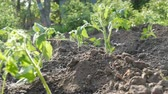 výhonky : Plantation of a young, freshly planted tomato shoots