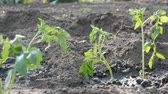 szilva : Young green tomatoes are only planted in the ground and stand in the garden Stock mozgókép