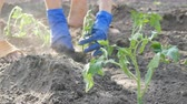 ripened : Female hands dig into the ground young tomato plant. Tomato plantation
