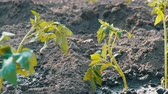 サービング : Row of Young green tomatoes just landed in the ground are standing on a sun in the garden