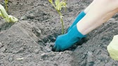 kazma : Female hands in a blue gloves planting aubergine
