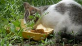 kacérkodás : Little Hungry Kitten Eats in a Green Grass