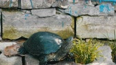 tartaruga : Large black turtle sits in a park Stock Footage
