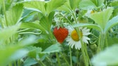 fragaria : Young red strawberry grows on bush next to a camomile