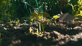 reforestation : Cucumber sprouts in the ground, the woman weeds the ground next to plant Stock Footage