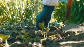 beslemek : Cucumber sprouts in the ground, the woman weeds the ground next to plant Stok Video