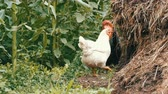 dominant : Variety of chickens and roosters run around in the vegetable garden in the village near the compost pile Stock Footage