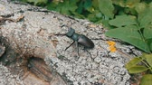 boynuzlu : Two big deer beetles Lucanus cervus creep along tree. Rare beetles in the forest Stok Video