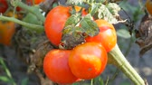 engradado : Ripe tomato fruit on the plant. Harvest of tomatoes in a garden Vídeos
