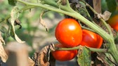 lehúzó : Ripe tomato fruit on the plant. Harvest of tomatoes in a garden Stock mozgókép