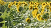 red petals : Beautiful yellow sunflowers in field on warm summer day