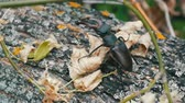 дуб : Large beetle Lucanus cervus creeps along the bark of tree.
