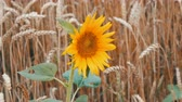 helianthus : Lonely young sunflower in wheat field against a background of wheat spikes