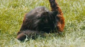 domestique : Homeless black cat sitting in green grass and licks himself on the street