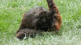 kacérkodás : Homeless black cat sitting in green grass and licks himself on the street