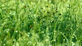 болото : Blurred green grass background with the water drops and morning dew close up view