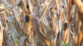 шелуха : Lot of dried corn on the field. Yellow ripe corn growing on the stalk in the open air close up view