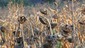 grown : Many ripened dry sunflowers, autumn harvest. Heads of dried sunflowers in a field.