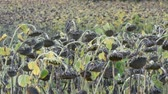 bereketli : Heads of dried sunflowers in a field. Many ripened dry sunflowers, autumn harvest