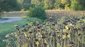 słonecznik : Heads of dried sunflowers in a field. Many ripened dry sunflowers, autumn harvest