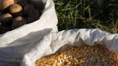 granulo : Autumn harvest. Bag of potatoes and corn seeds