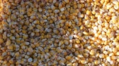 sackcloth : A bag of yellow corn kernels. Crop harvested corn close up view