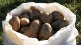 sack : Large potatoes in bag. Huge potato harvest close up view