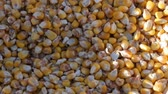 kernels : A bag of yellow corn kernels. Crop harvested corn close up view