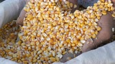 flocos de milho : Farmers hands touch the corn harvest. A bag of yellow corn kernels. Crop harvested corn close up view