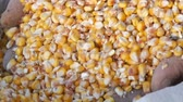 kernels : Farmers hands touch the corn harvest. A bag of yellow corn kernels. Crop harvested corn close up view