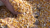 Farmers hands touch the corn harvest. A bag of yellow corn kernels. Crop harvested corn close up view