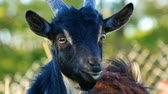 ruminante : Funny black young goat grazes on the grass in a village