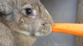 lebre : Funny very big gray rabbit chewing or eats carrots. Easter concept Stock Footage