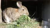hare : Funny gray big rabbit eating green grass in a cage Stock Footage