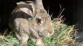 hare : Funny gray big rabbit looks around in open cage Stock Footage