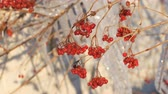 sincelo : Branches with red viburnum on the background of group of beautiful picturesque icicles sparkling and shimmering melt in the sun