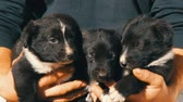 бульдог : Three little funny puppies in man in his arms. Black playful puppies with an interesting white coloring