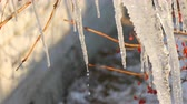 sincelo : Group of beautiful picturesque icicles sparkling and iridescent melt in the sun