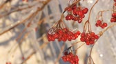 icicle : Branches with red viburnum on the background of group of beautiful picturesque icicles sparkling and shimmering melt in the sun