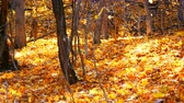 outonal : Beautiful mysterious forest with yellow foliage lying on a ground